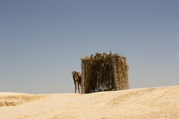 primitive hut of branches and camel in the desert