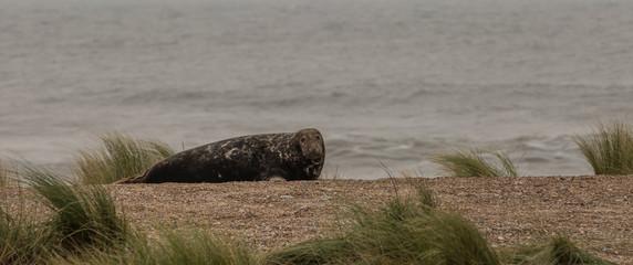 Bull Grey Seal
