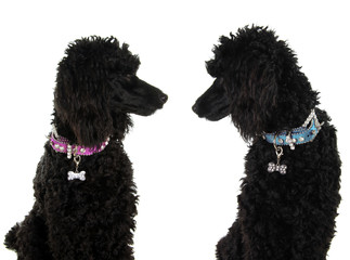 Two black poodles, staring lovingly at each other.