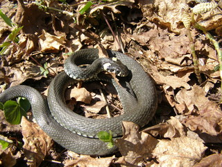 Coiled up grass snake
