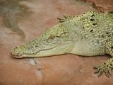 weißes Krokodil