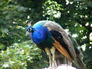 Sitting peacock
