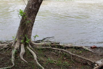 Bare Roots Of A Tree Growing Along The River