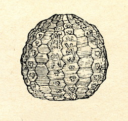 Fossil of sea urchin Bothriocidaris pahleni