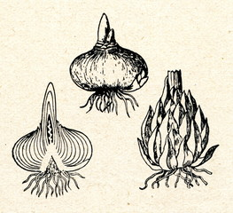 Bulbs of onion and lily