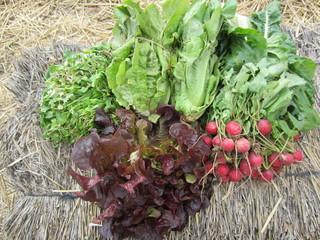 lettuce radish and rocket