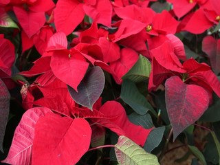 poinsettias red background