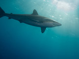 Silky shark (Carcharhinus falciformis) in a sea