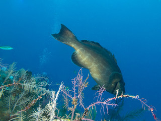 Cuba, big black grouper (Mycteroperca bonaci)