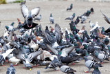 hungry feral pigeons ( columba livia ) eating on park alley food poster