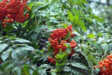 Mountain ash fruits hangs on green branch in rainy weather