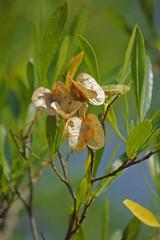 Silver Cluster-leaf, Terminalia sericea