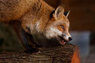 Fuchs knabbert