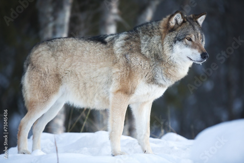 Wolf standing in the cold winter forest Poster