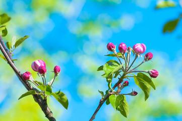 Beginnende Obstbaumblüte im Frühling