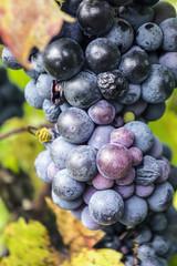 Weintrauben der Rebsorte Plavac Mali auf Pelješac