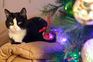 Black and white cat ahead a christmas pine tree