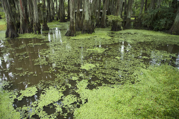Green Bayou Swamp Scene of the American South