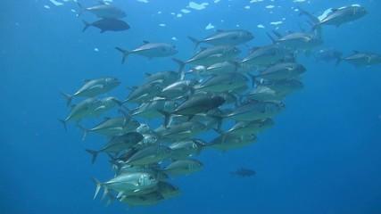 Shoal of Bigeye Trevallies in blue water