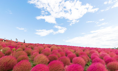 Field of red Kochia