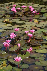 Beautiful pink lotus in the pond.
