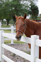 Light Brown Horse Standing at the White Fence
