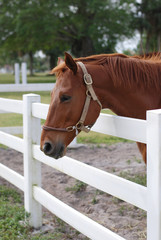 Light Brown Horse at the White Fence
