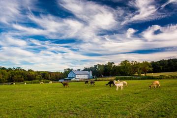 Alpacas on a farm in rural York County, Pennsylvania.