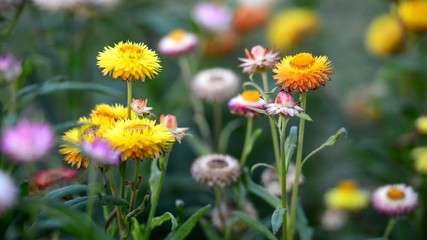 Helichrysum in the wind