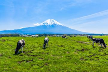 Cattle grazing in Asagirikogen to Mount Fuji views
