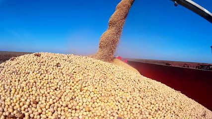 Harvested soybean