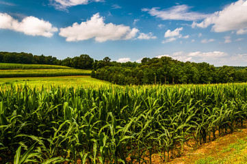 Cornfield and rollings hills in Southern York County, Pennsylvan