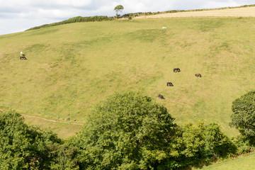 horses  on green meadows, Cornwall