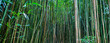 Bamboo Forrest - 75067864
