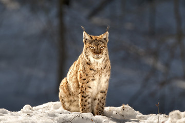 Lynx in the snow background while looking at you