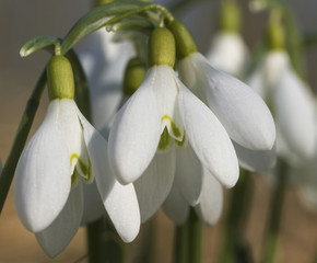 Growing snowdrops.