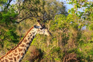 Giraffe in close up in african landscape