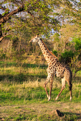 Giraffe walking through a typical african landscape