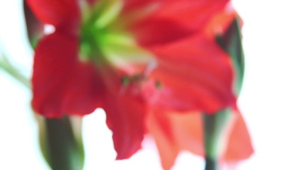 Amaryllis flower defocus