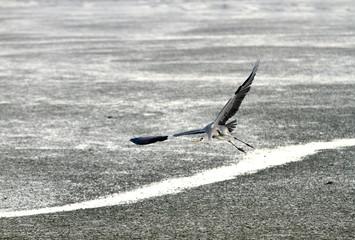 Grey herons hunting during low tide