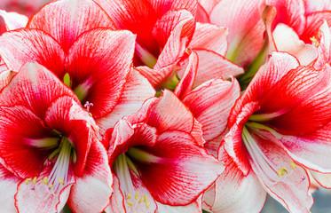 Pink Amaryllis flowers