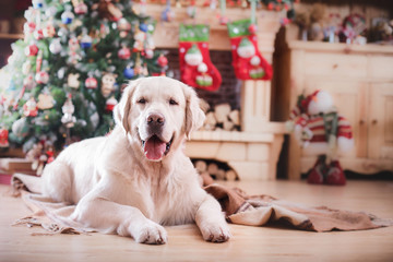 Golden retriever, Christmas and New Year