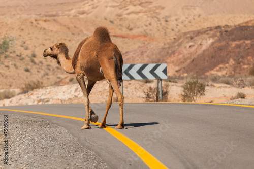 Foto op Canvas Kameel Camel walking along the road in the desert