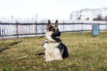 Shepherd Dog outdoors