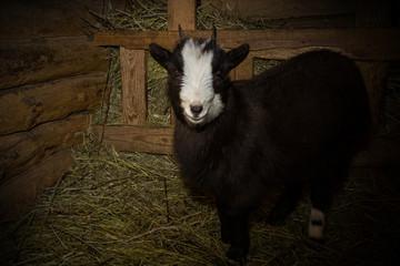 goat in the manger