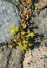 Saxifrage breaks through the stones