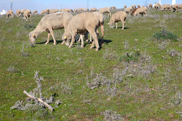 Herd sheep grazing
