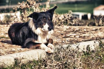 Laying sheepdog border collie