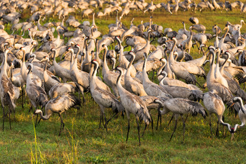 Common cranes at Agamon ha-Hula