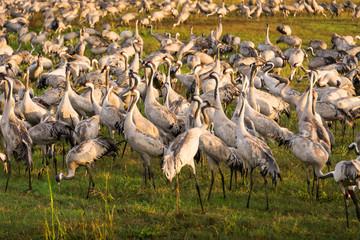 Eurasian cranes at Agamon ha Hula